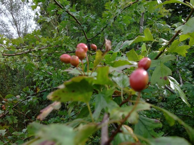 Berries on the Hawthorn
