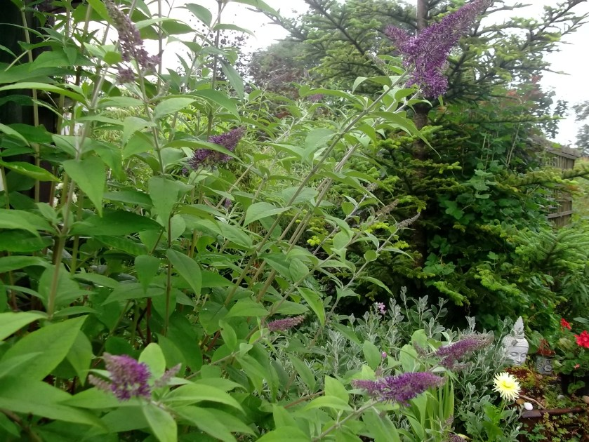 Buddleia growing in two tyres at Bealtaine Cottage