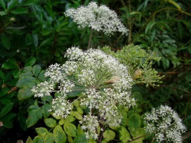 cow parsley at Bealtaine Cottage Permaculture Gardens
