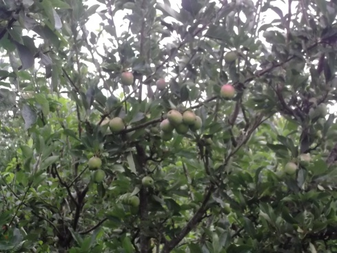 Apple havest at Bealtaine Cottage