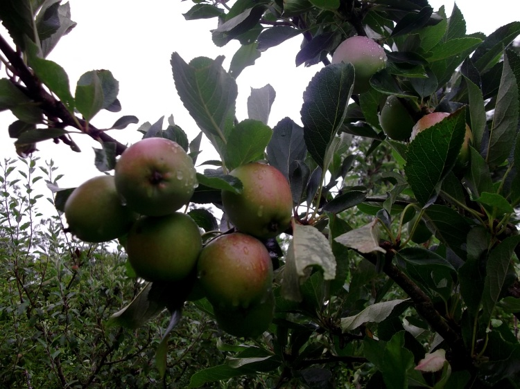 Apple harvest at Bealtaine Cottage, Ireland
