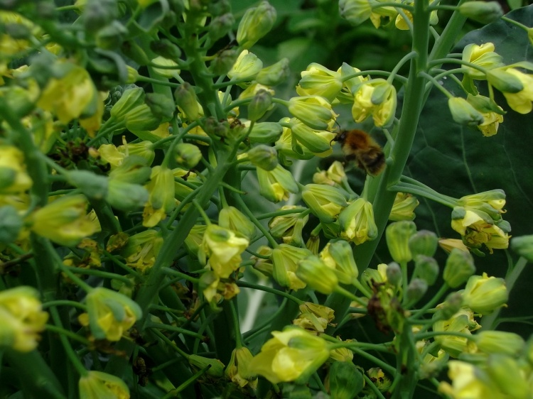bee pollinating broccoli