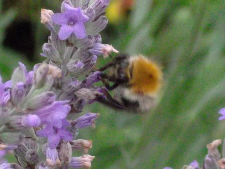 Bee on lavender at Bealtaine Cottage