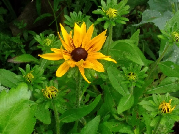 Rudbeckia at Bealtaine Cottage