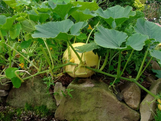 pumpkins in the potagers