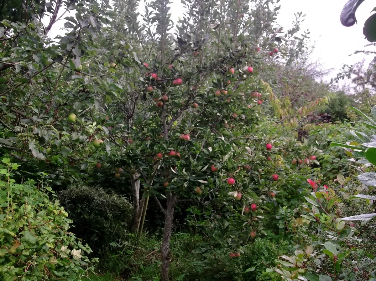 apples in permaculture