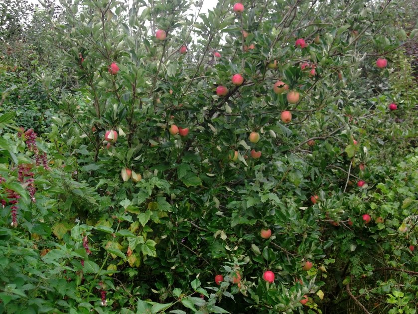 apple harvest in permaculture