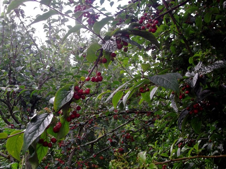 cotoneaster berries for the birds in permaculture orchard