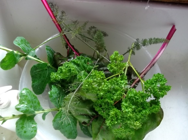Mixed greens picked in the gardens and tunnel today