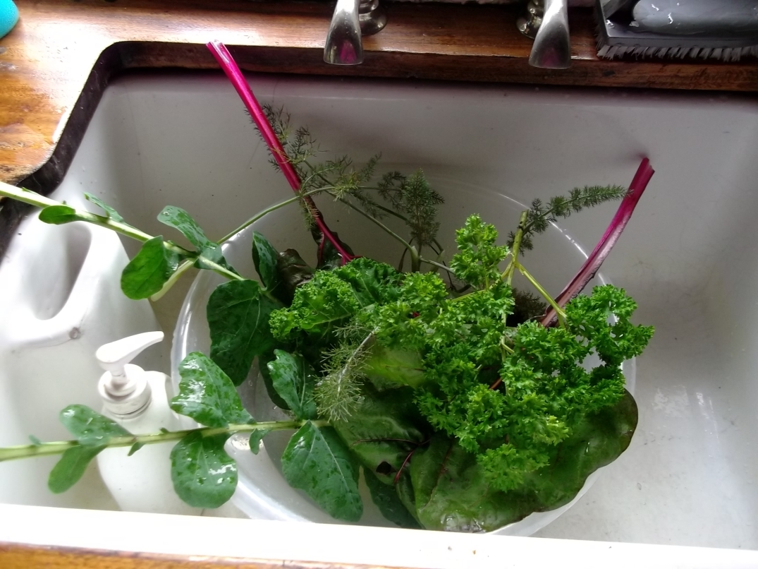 Parsley,Fennel,Chard and Broccoli leaves all go into a healthy juice.
