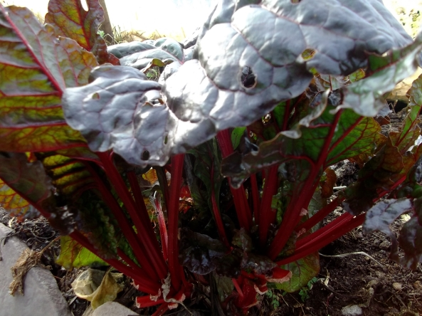 Dark Ruby Chard has over-wintered well in the tunnel