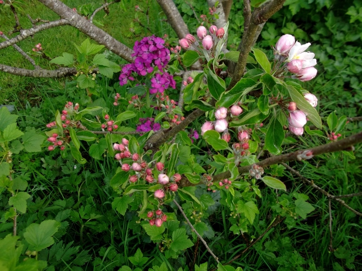 Apple blossom and Honesty flowers in bloom at Bealtaine Cottage