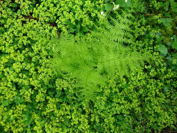 Ferns and Spurge cover the floor of the Fairy Wood