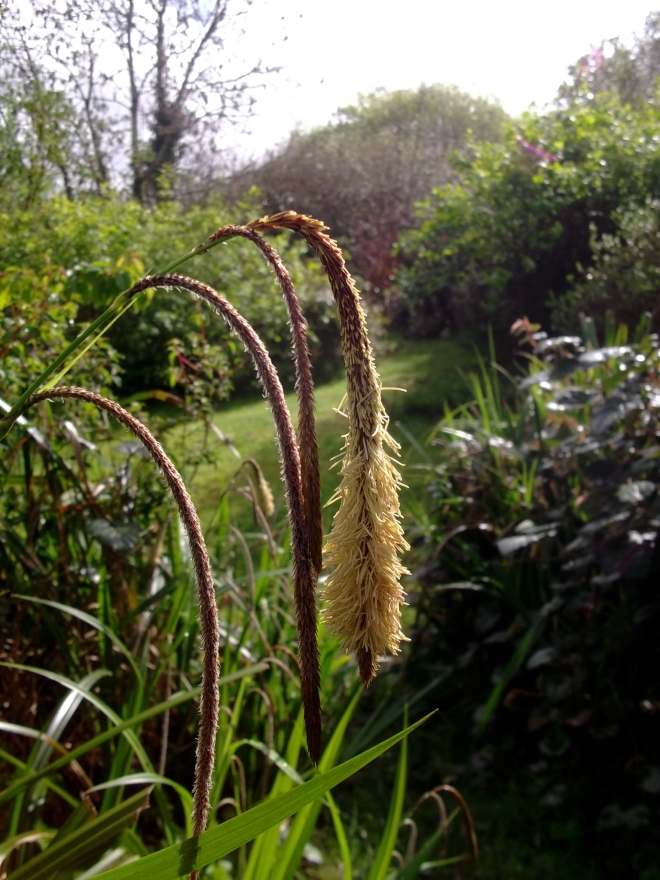Sedge in flower today at Bealtaine