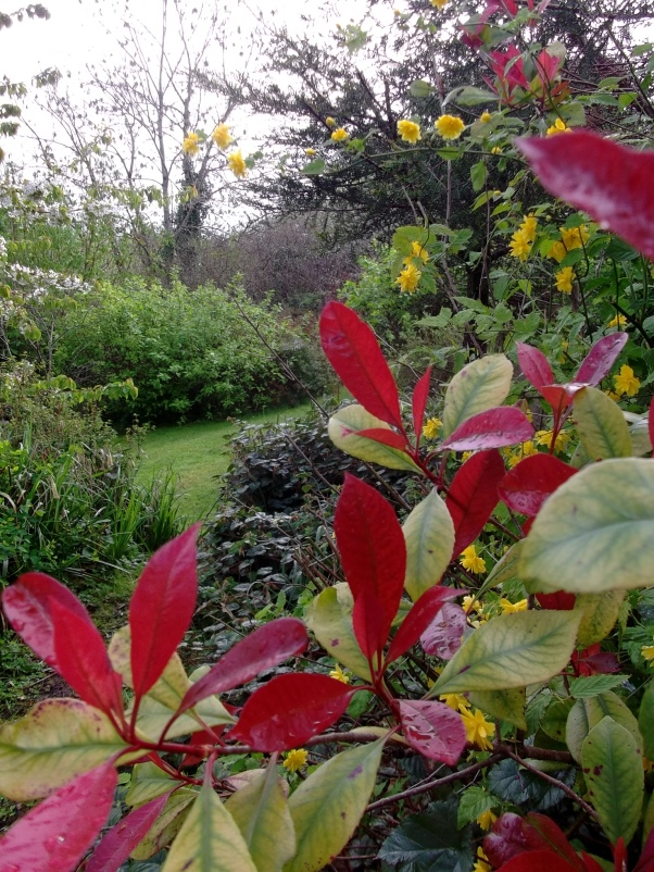 Photinia and Kerria