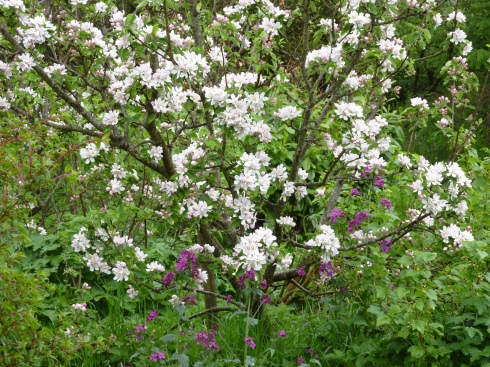 Apple blossom on Bealtaine Eve at Bealtaine Cottage
