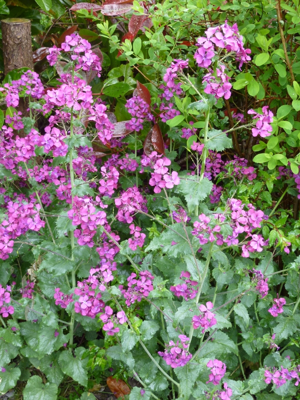Honesty, Lunaria in full bloom this day