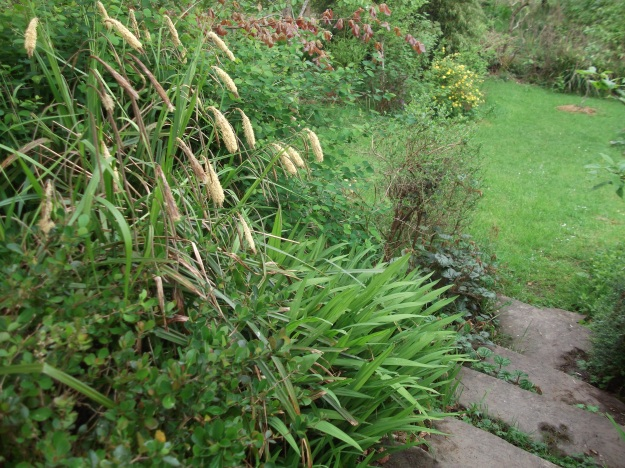 Sedge in bloom to the left of the steps.