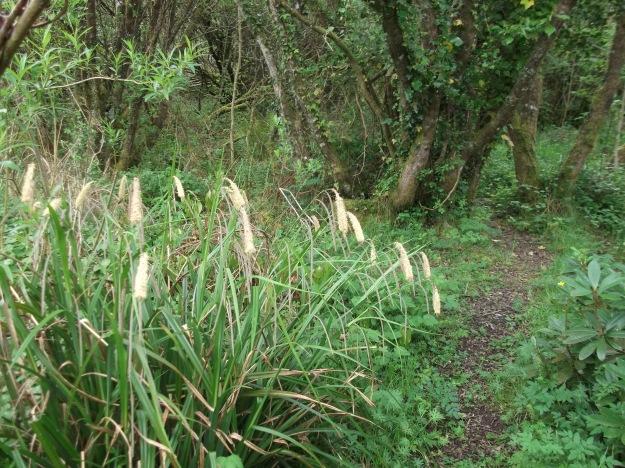 Sedge in the Fairy Wood