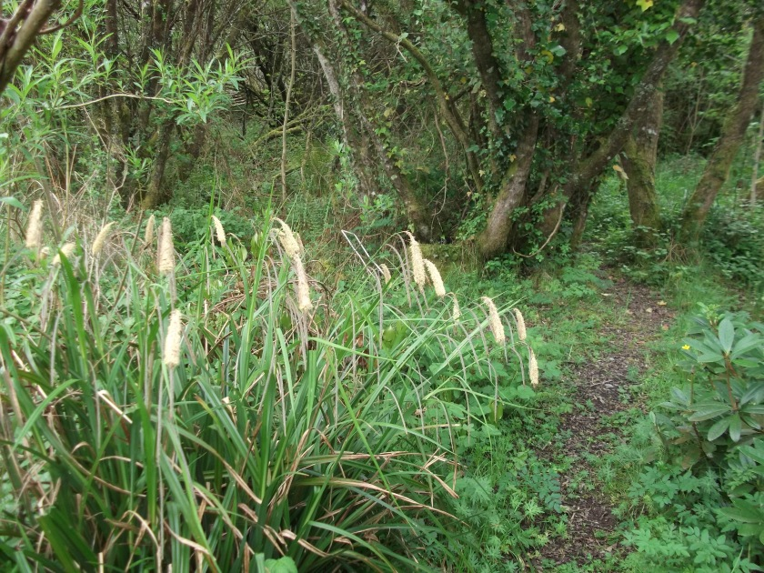 Sedge in the Fairy Wood