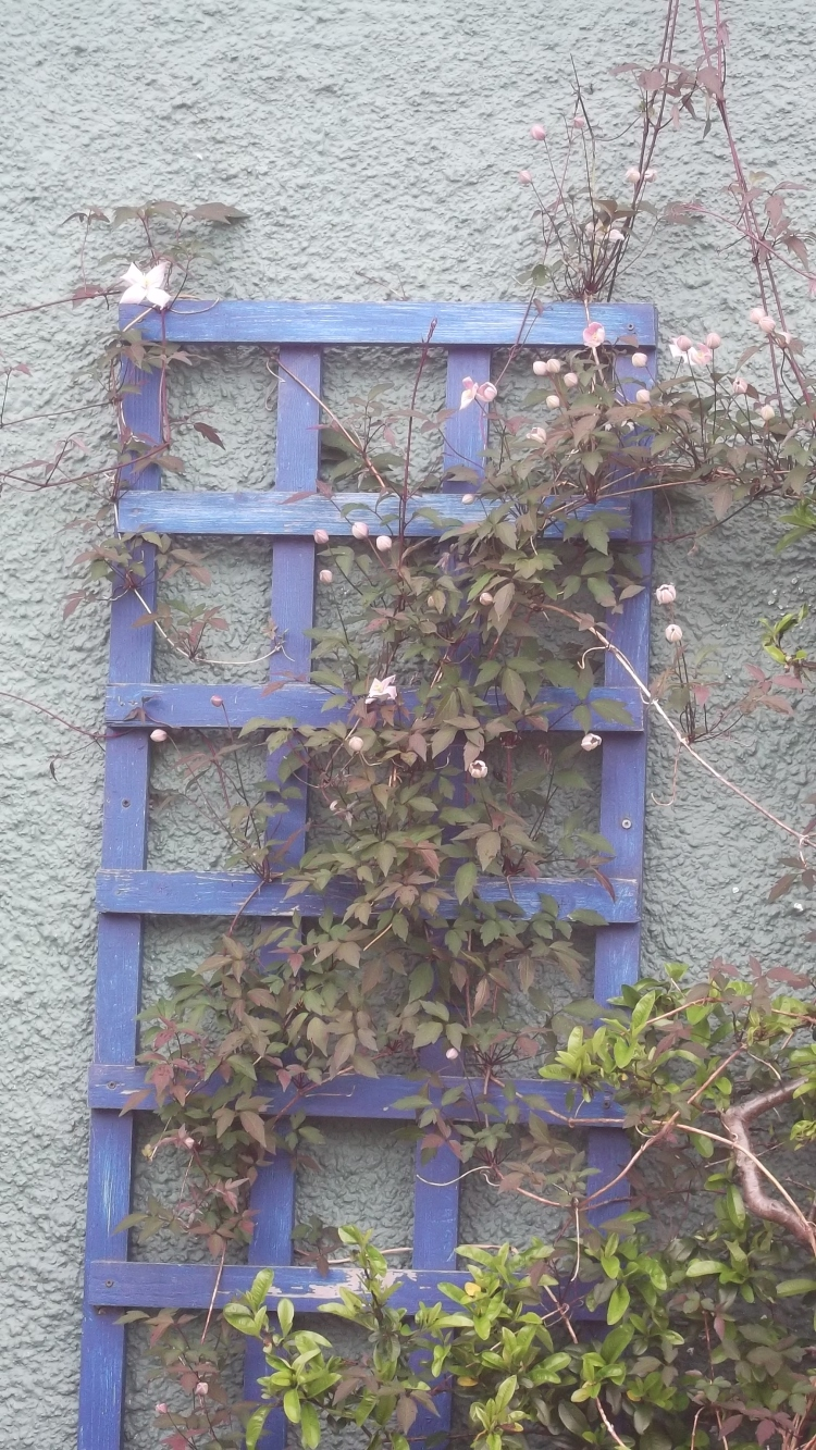 Clematis, planted last year on the north-facing wall of the cottage...ready to bloom!