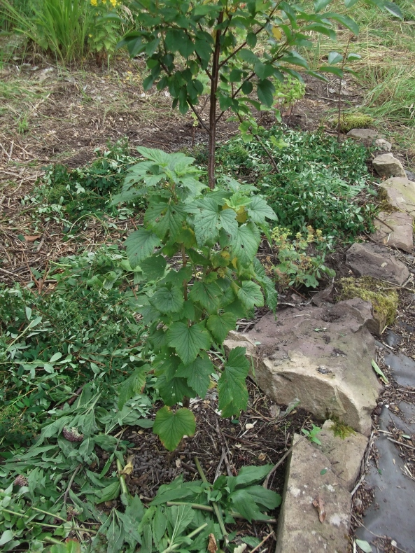 permaculture orchard at bealtainecottage.com 013