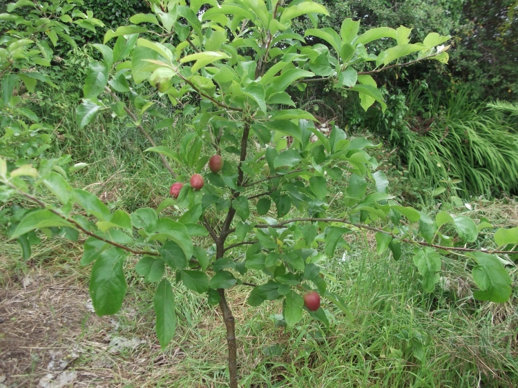 permaculture orchard at bealtainecottage.com 014