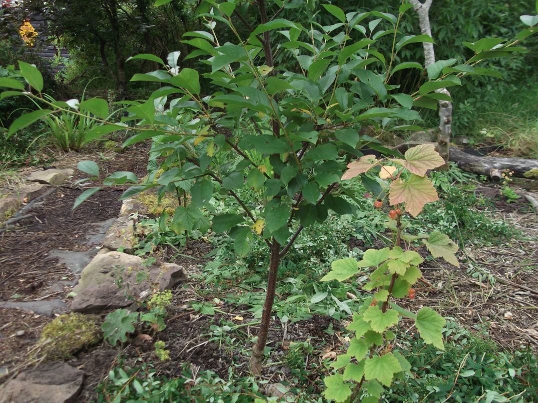 permaculture orchard at bealtainecottage.com 016