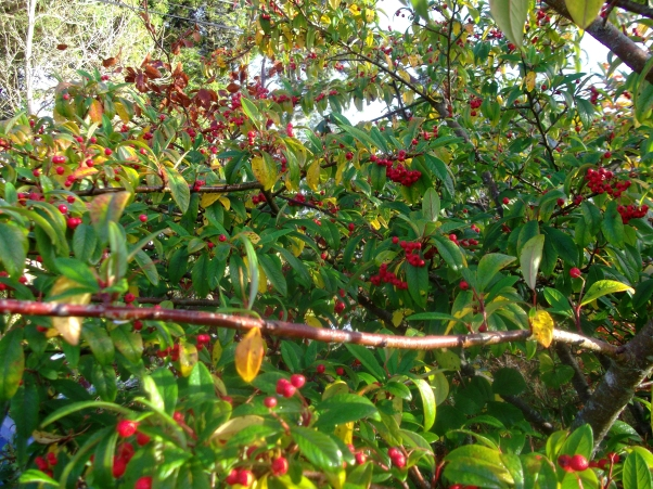 permaculture at bealtainecottage.com 022