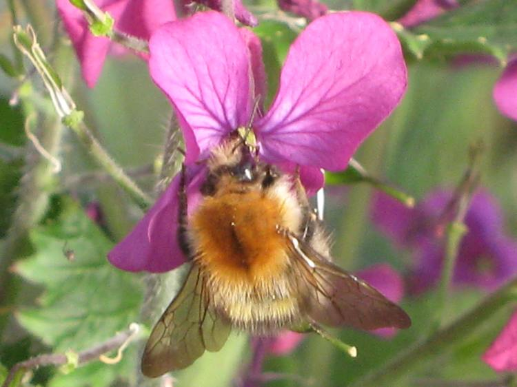 Bee on Lunaria flower at Bealtaine Cottage