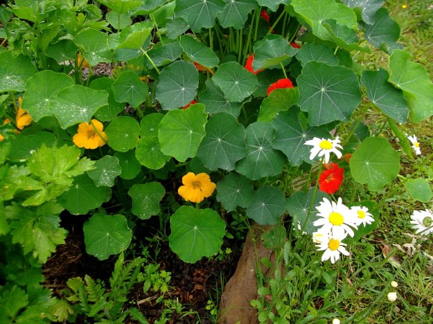 Nasturtiums and Ox-eye daisy