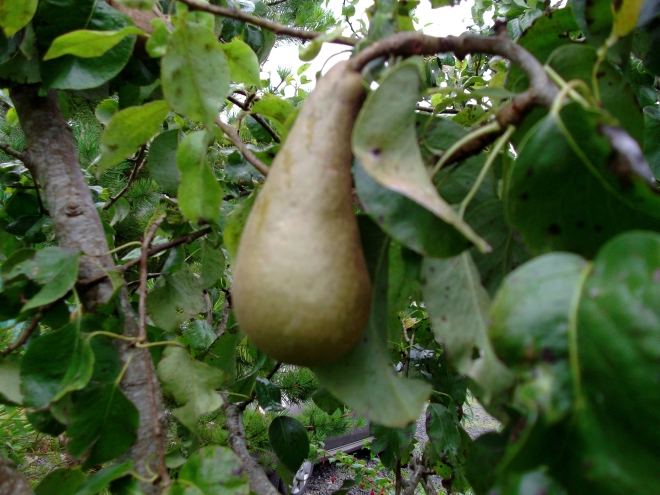 Bealtaine Cottage pears