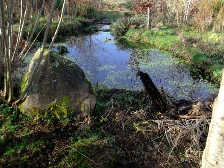 The lower pond in the Bog Garden at Bealtaine Cottage in February 2013