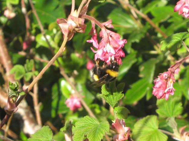 An early bee in April 2013 at bealtaine Cottage permaculture gardens
