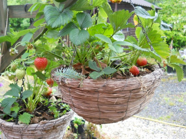 Growing strawberries in a hanging basket