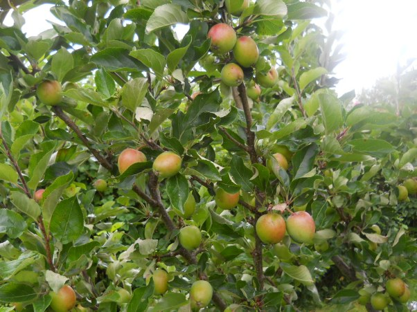 apple trees at Bealtaine Permaculture Cottage July 2011 011