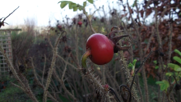 Rosehips at bealtaine Cottage permaculture