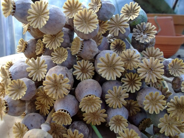 Poppy seed heads at Bealtaine Cottage