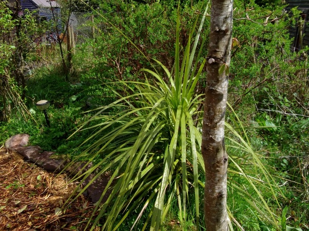 Cordyline at Bealtaine Cottage Ireland