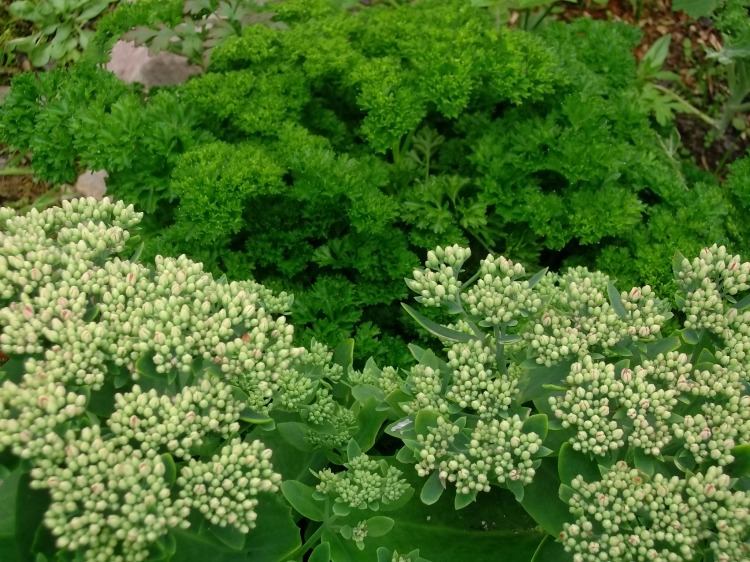 Parsley and Sedum