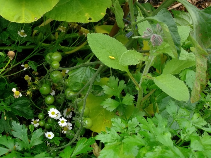 Tomatoes and Feverfew