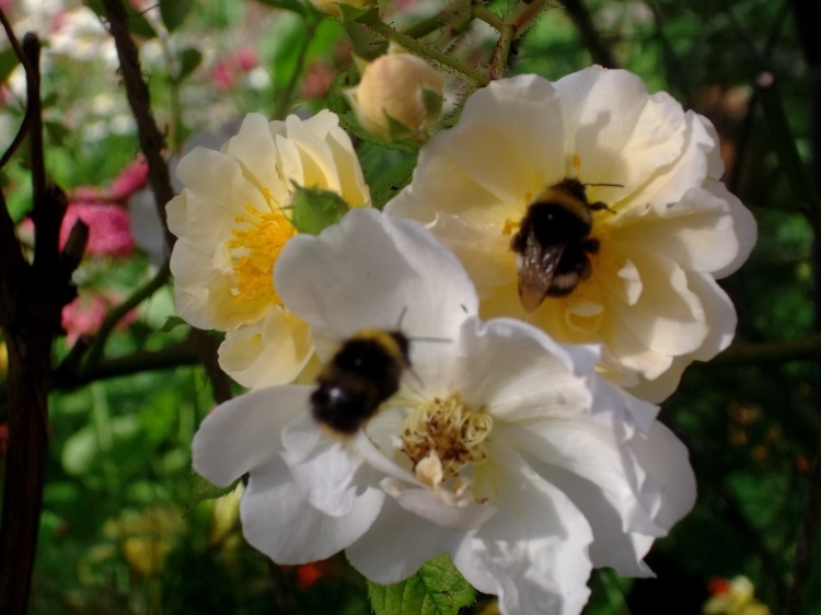 Bees at Bealtaine Cottage