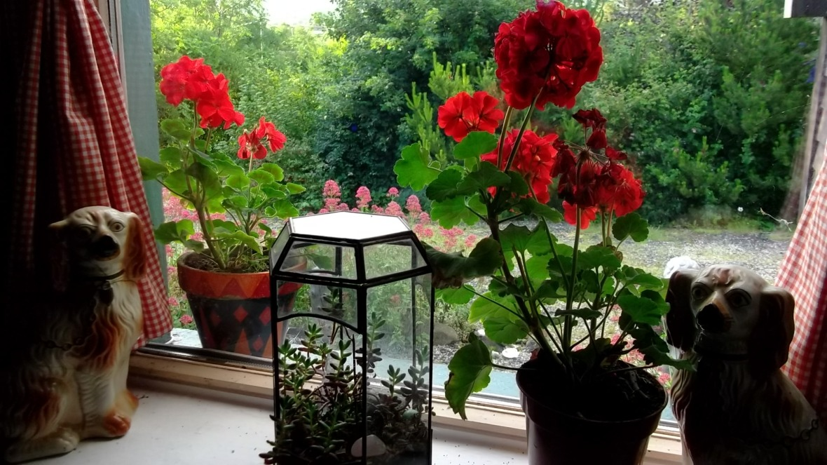 Geraniums on the windowsill at Bealtaine Cottage