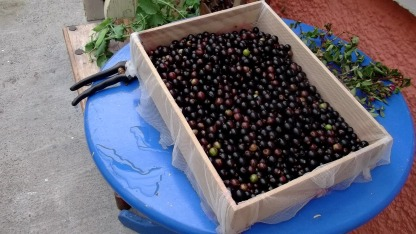 Bealtaine Cottage Blackcurrants