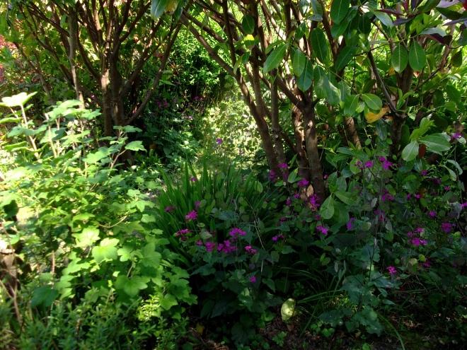 Lunaria at Bealtaine Cottage