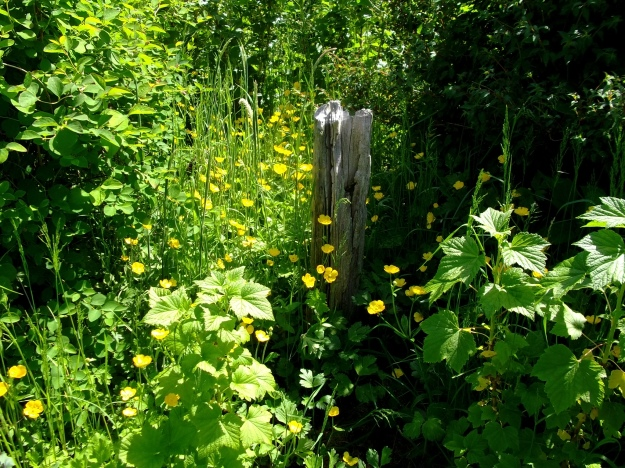 Buttercups and Driftwood at Bealtaine Cottage