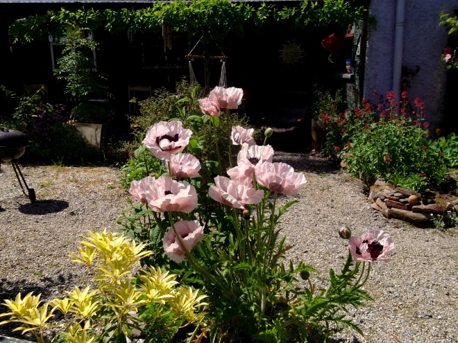 Poppies in the sun at Bealtaine Cottage