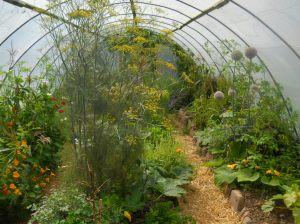 Green fennel at Bealtaine Cottage