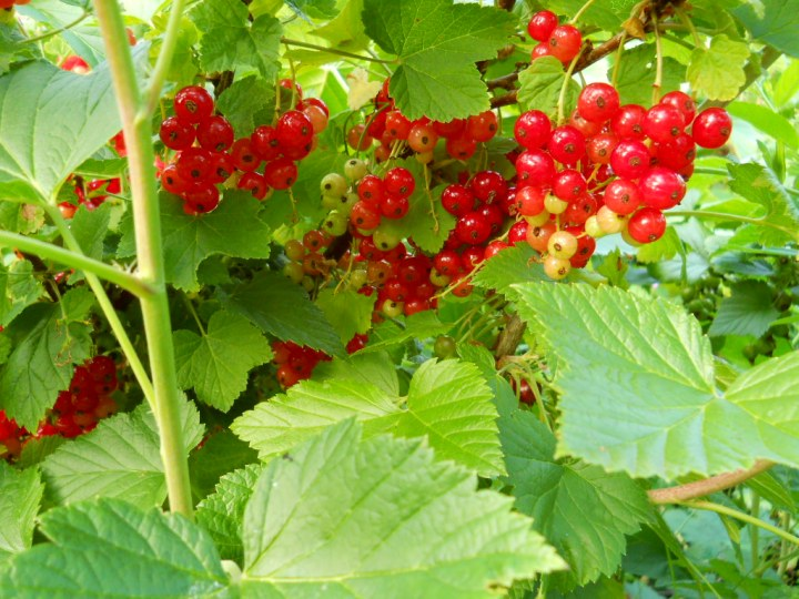 Redcurrants at Bealtaine Cottage