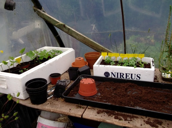 Potting up in the polytunnel